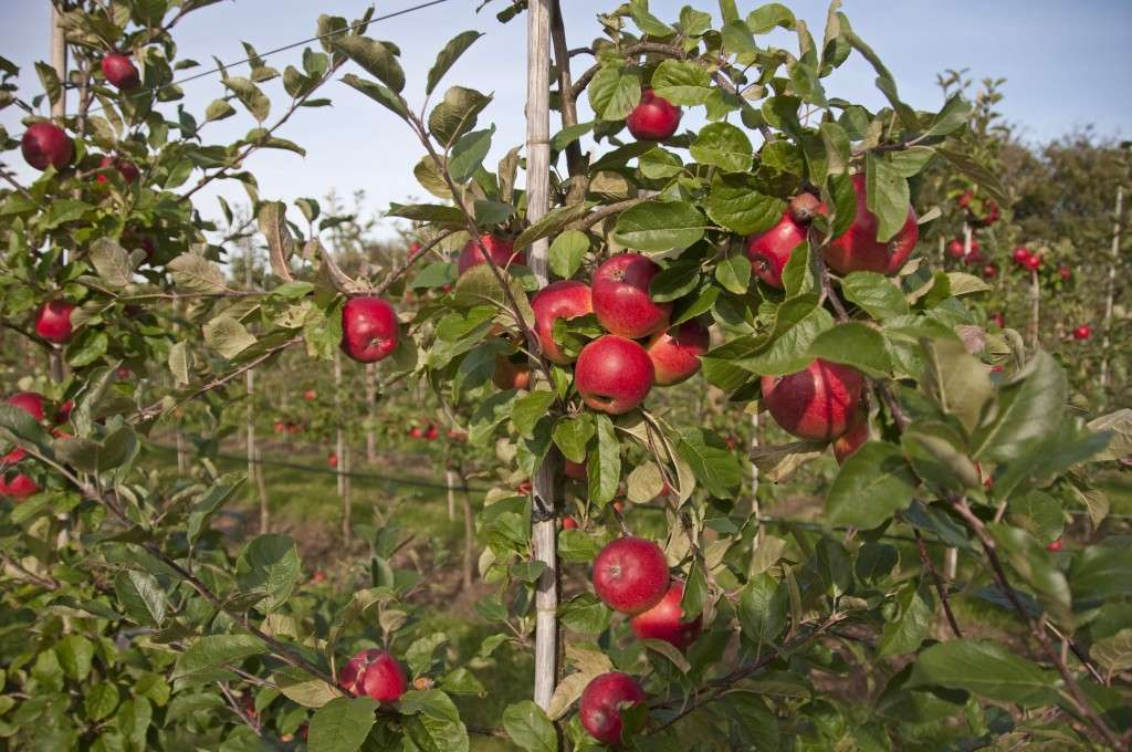 Æbleplantage